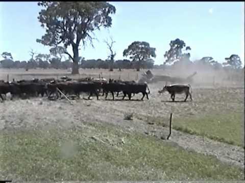 Kelpie Wranglar Lilly Cross-Driving Cattle
