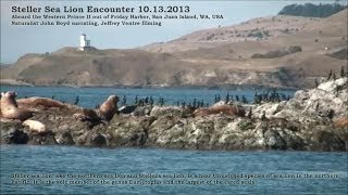 Steller Sea Lion Encounter Out of Friday Harbor
