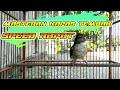 Kapas Tembak Gacor Ngerol Panjang Mantap Buat Masteran  Mp3 - Mp4 Download