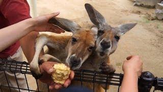 東山動物園のアカカンガルーです。 ソニーα77Ⅱにタムロン18-270 B008で...