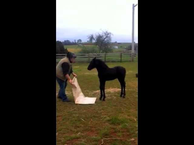 Training baby horse