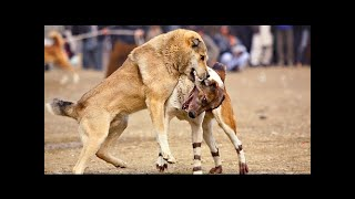 Bully Kuttaは、以前はパキスタンのパンジャブ地方に由来する犬種です。...