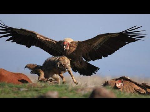 ОРЕЛ В ДЕЛЕ! Орел против лисы, оленя, козла, зайца | Как охотятся Орлы?