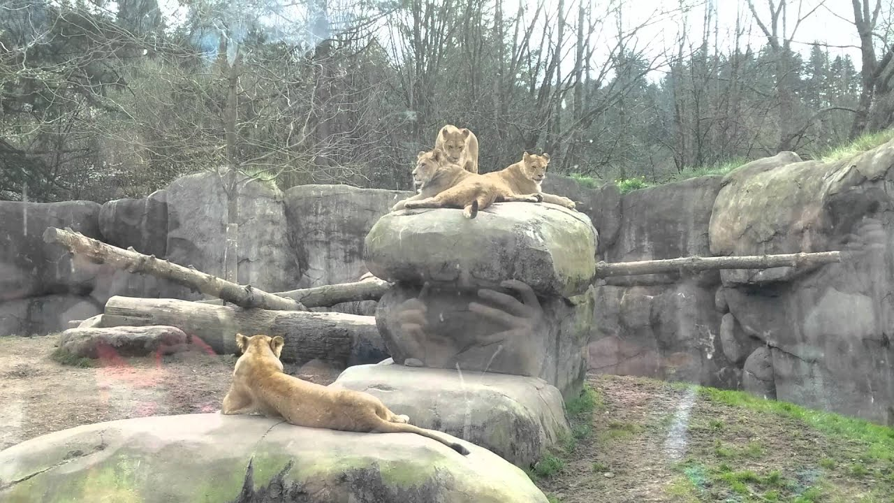 lion cubs at the portland zoo youtube