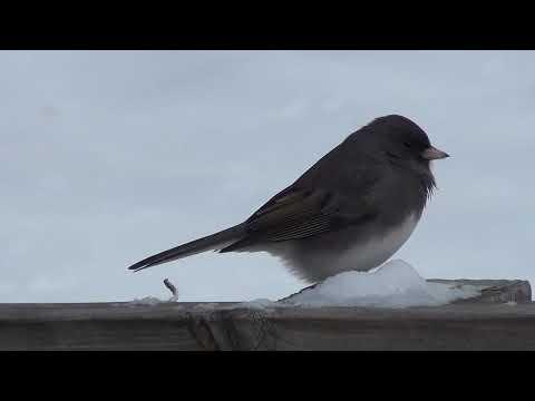 Birds USA... Dark-eyed Junco