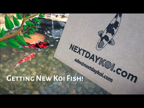 Adding Koi Fish To My Pond *Beautiful*