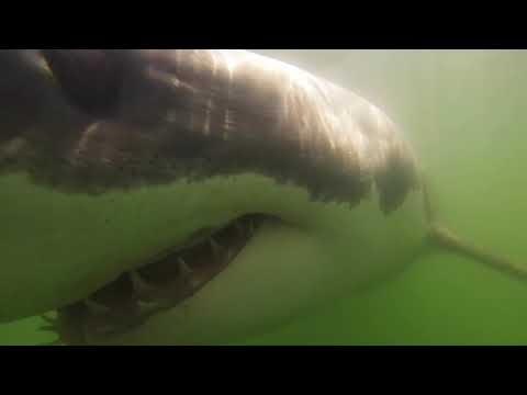 Curious White Shark Swims up to Camera