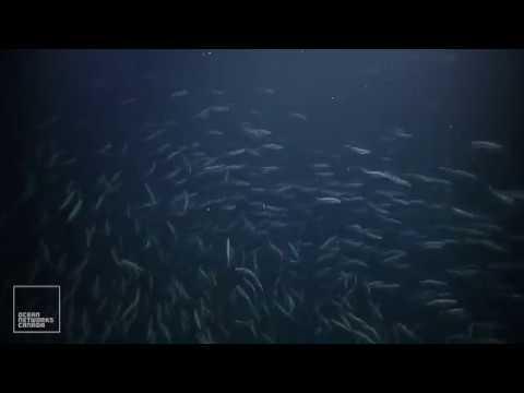 Large School Of Fish At Barkley Canyon