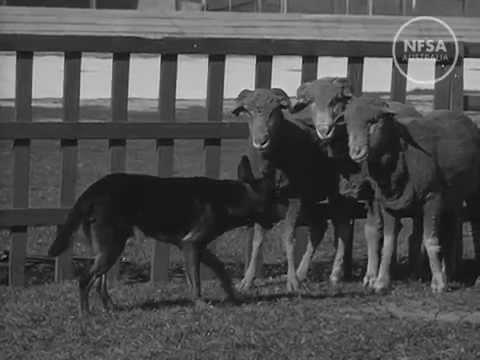 The Kelpie - Australia's Wonder Dog. Australian Diary 9