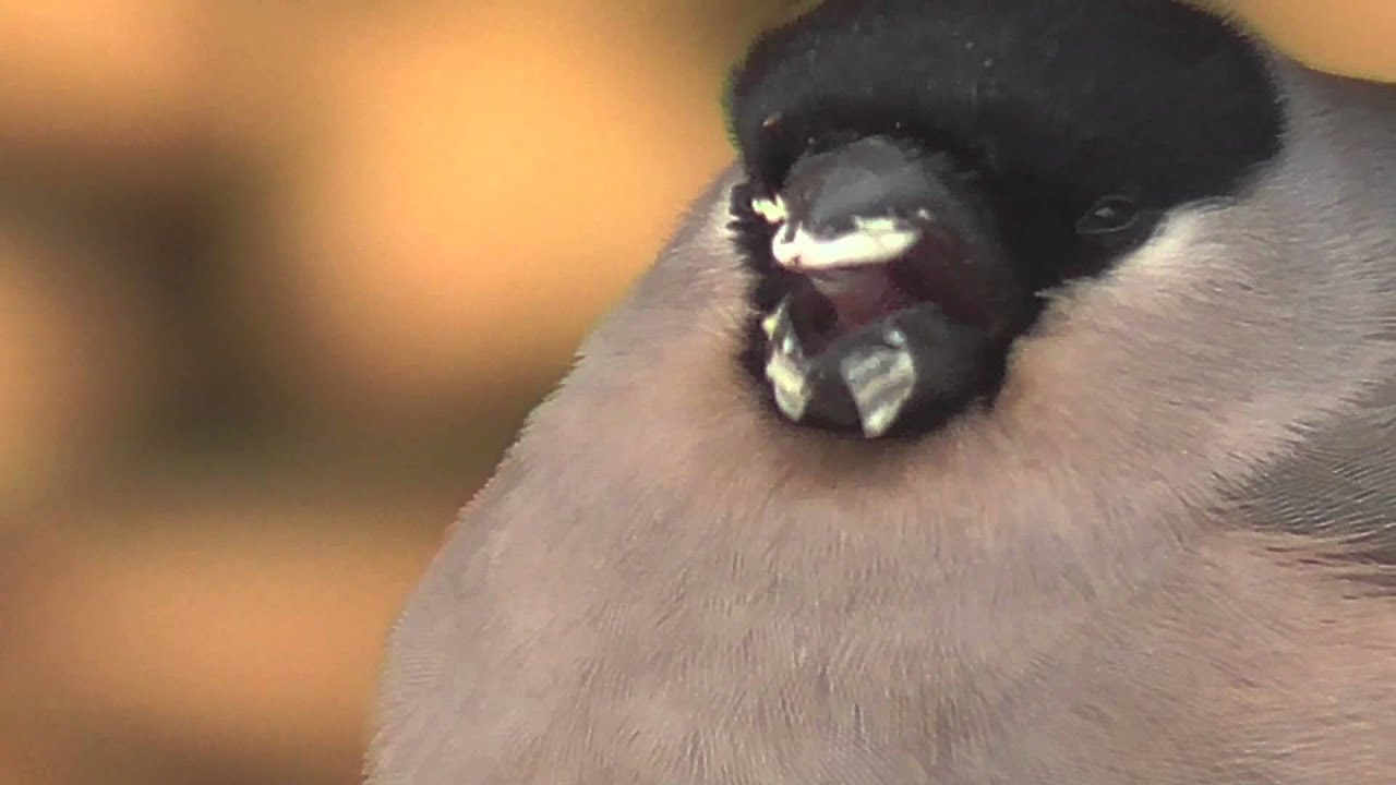 Funny fat bird from Finland 1 - YouTube