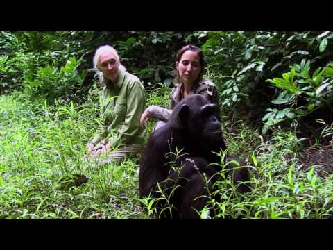Update on Famous Jane Goodall Chimpanzee Video - Story Of Hope