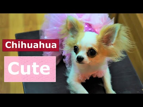 Chó Chihuahua Lông Dài Nhập Nhật Bản và Hàn Quốc Đẹp Mê!