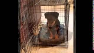 Puppy Kennel Training