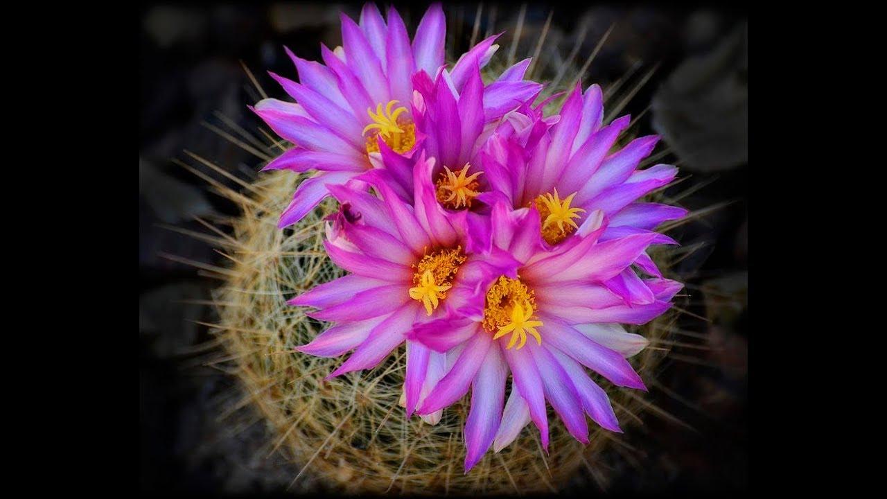 Amazing Beautiful Blooming Cactus Flower Stunning Blooming Flowers