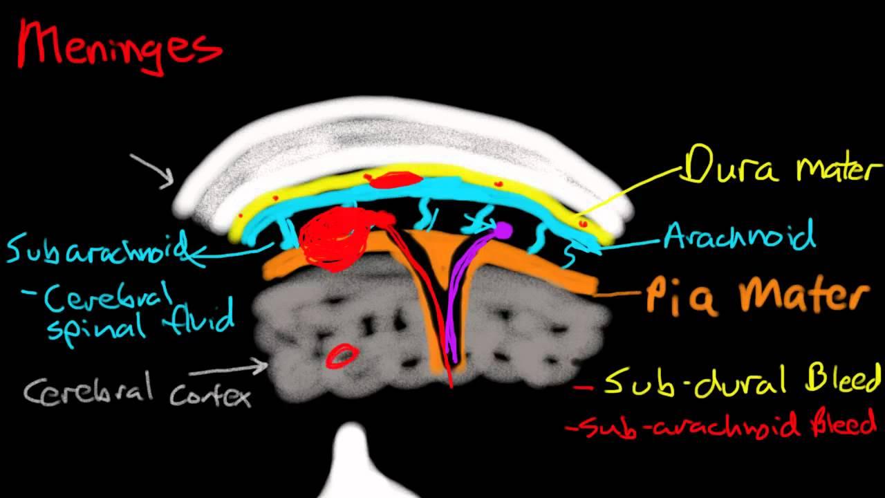 wolf nervou system diagram [ 1280 x 720 Pixel ]
