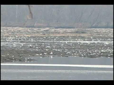 Many Seagulls on Susquehanna River near Highway 1 in Maryland, USA-V2.avi