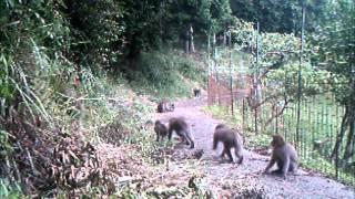 サル用防護柵「おじろ用心棒」を設置したところ、多くのサルは柿畑に入...