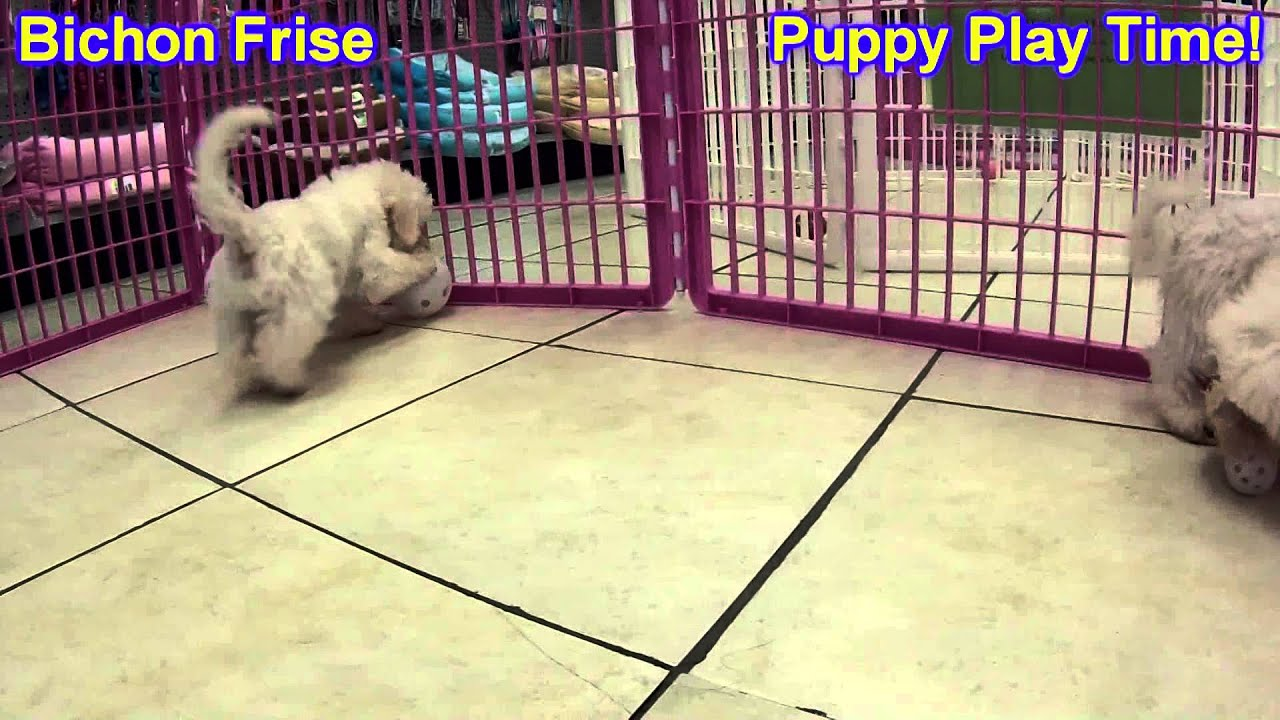 Bichon Frise, Puppies, For, Sale, In, Gillette, Wyoming, WY, Rock Spriings,  Sheridan
