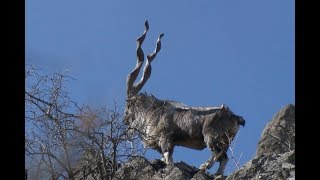 Unseen visuals of Markhor in Pakistan chitral ( National Animal of Pakistan )