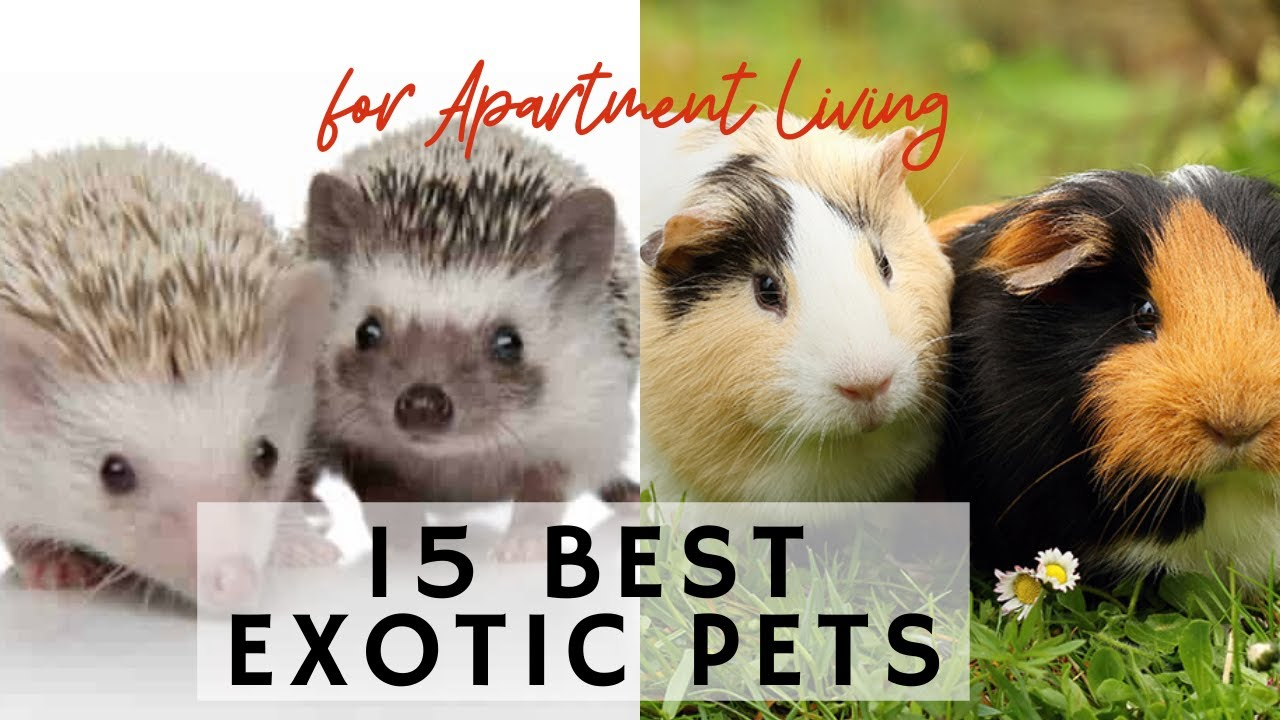 15 Best Exotic Pets for Apartment Living - Learning video