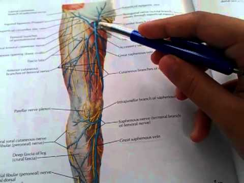 97 Veins Of The Lower Limb Youtube