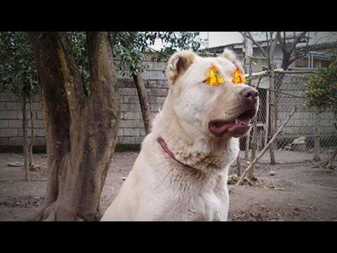 El Perro Prohibido - Afghan Kuchi Dog