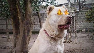 El Perro Prohibido  Afghan Kuchi Dog