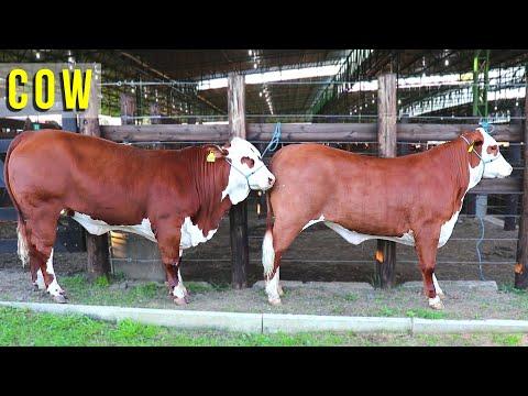 Farm Animal - Feira de Gado  - Leilão de Gado - Boi Vaca e Bezerro