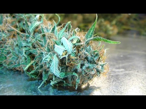 Green Ninja's Next Indoor Organic CFL Medical Marijuana Grow Part 27: Grape Ape Harvest