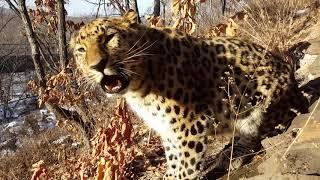 Голос дальневосточного леопарда. (Великоросс.)