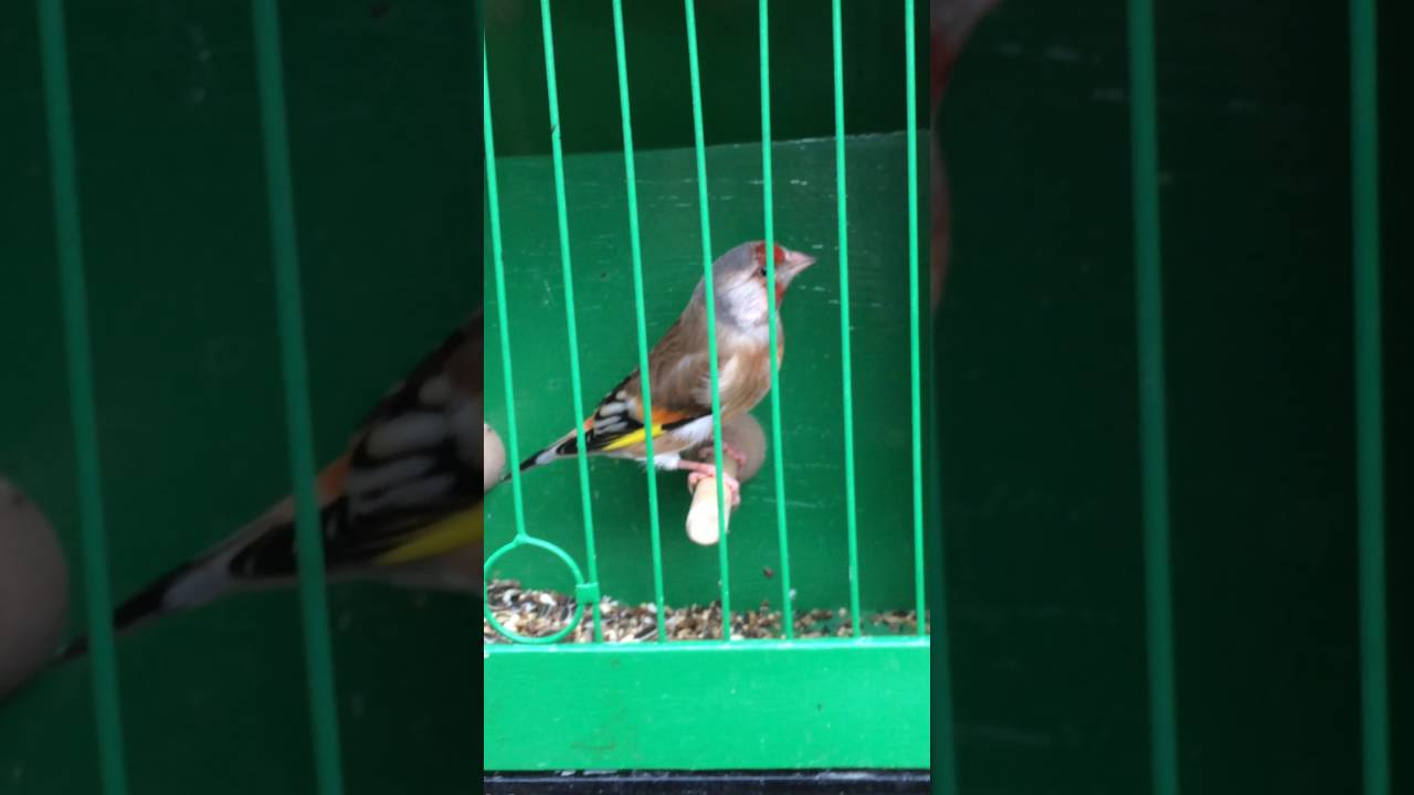 goldfinch xx green finch youtube