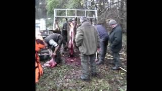 Охота в Германии(Драйпт якт после первой половины дня добыто 22 касули, и около 5 кабанов после обеда ., 2014-12-26T21:52:36.000Z)