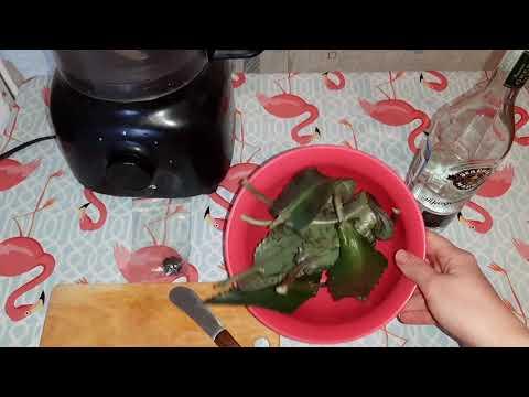 Как приготовить настойку из каланхоэ на водке