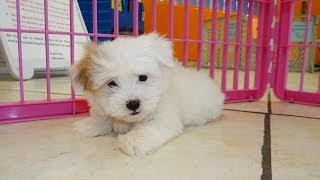 Coton De Tulear, Puppies, For, Sale, In, Tucson, Arizona, Az, Catalina Foothills, Lake Havasu City,