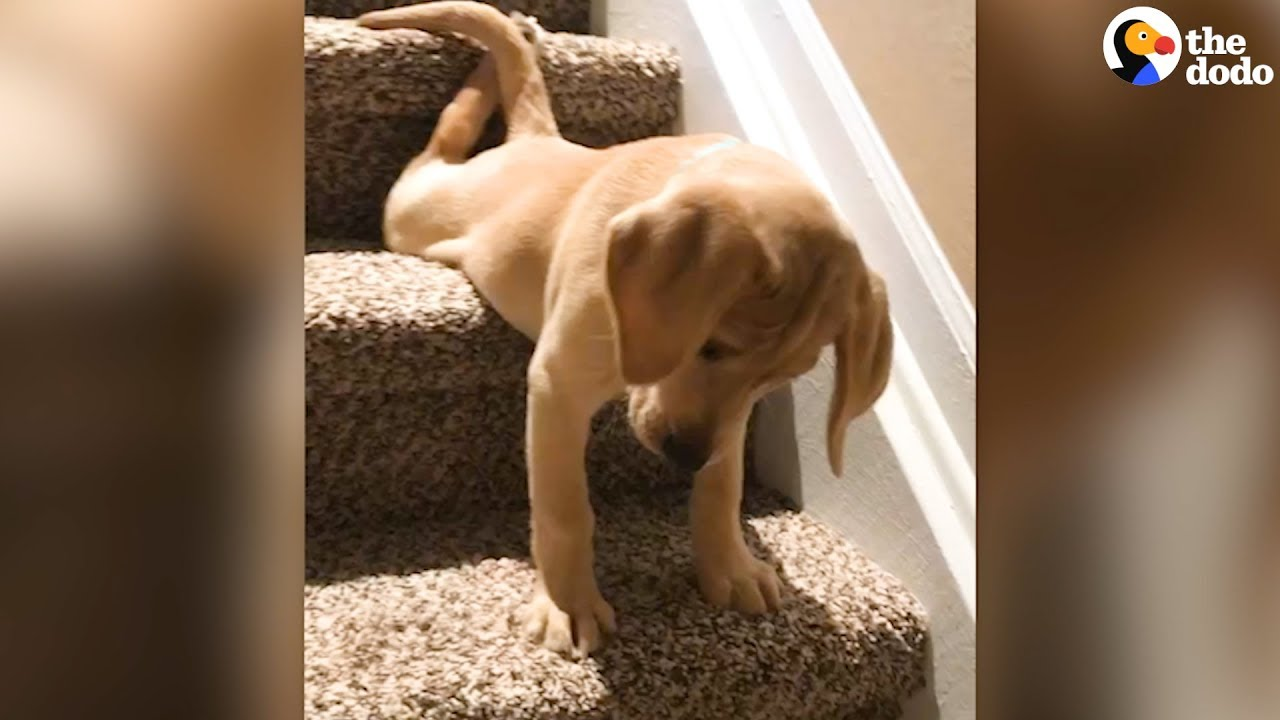 ADORABLE Puppy Figures Out The Stairs