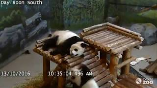 Toronto Zoo Giant Panda Cub Fall Compilation - Funny Pandas