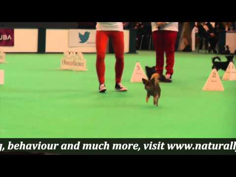 Crufts 2015 Chihuahua Obreedience and Heelwork to Music demo