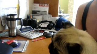 Luna My Pug Reacting To Yoda Singing...classic Pug Head Tilt...!!