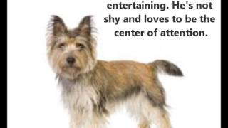 Cairn Terrier ~ Puppies for Sale, by Pets4You.com