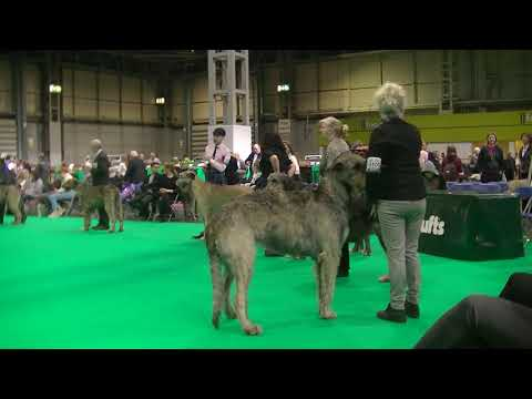 Irish Wolf Hound Crufts 2020