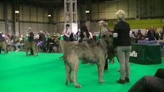 Irish Wolf Hound Crufts 2020