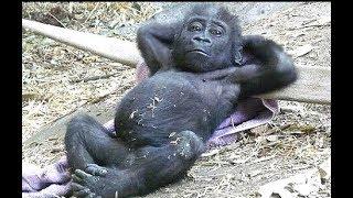 VERSUCHEN SIE NICHT ZU LACHEN an dieser lustigen Affe compilation 2017