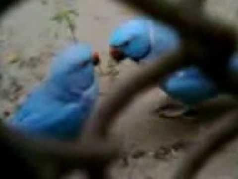 The Lovebirds,Zoological Garden,Alipore,Kolkata,India