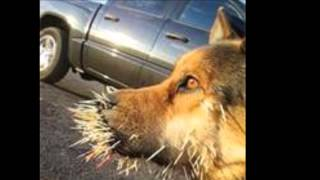KEEP DOGS AWAY FROM PORCUPINES