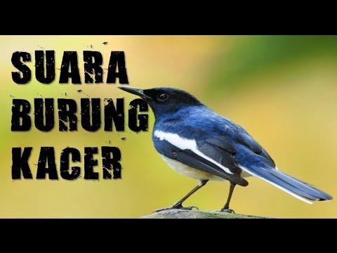 suara kicauan burung kacer gacor buat masteran birdsong
