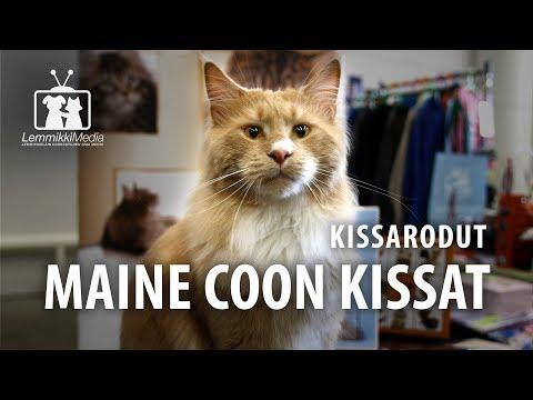 Kissat: Maine Coon -kissan rotuesittely