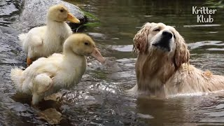 The Dog-Avengers Are Here To Safeguard The Ducks (Part 2) | Kritter Klub