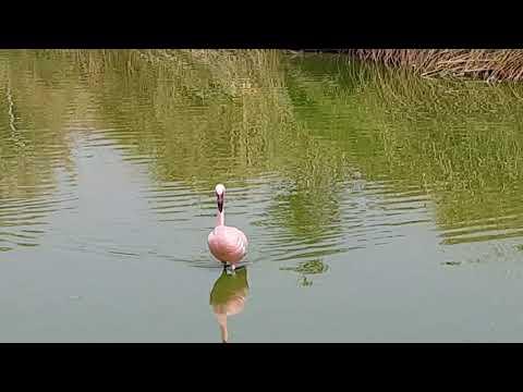 Walking Lesser flamingo