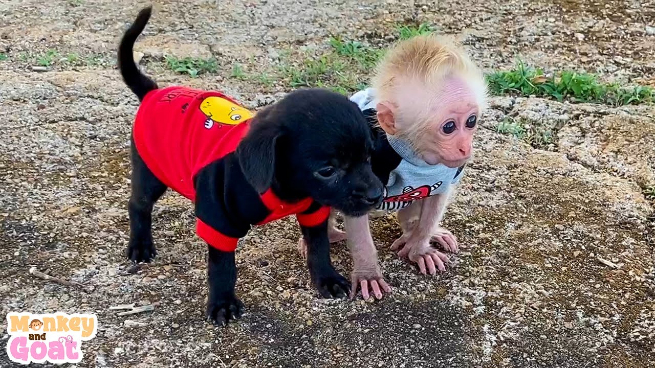 Cute moments of baby monkey and puppies