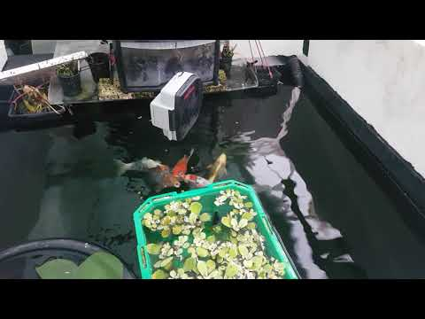 New Koi Food First Thoughts & Grow On By Night